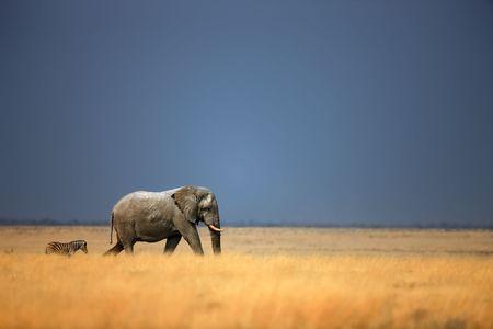Elephant bull and zebra walking in open grassfield; Loxodonta Africana; Etosha