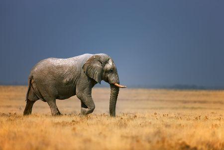 Elephant bull walking in open grassfield; Loxodonta Africana; Etosha Reklamní fotografie