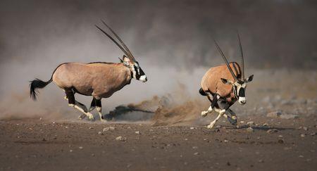 Agressieve antelope chase losser na een strijd; Etosha Stockfoto