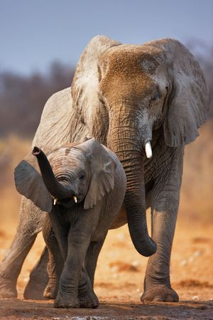 Elephant calf with adult standing behind;  Etosha Stok Fotoğraf