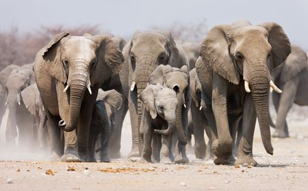 Large herd of elephants approaching over  the dusty plains of Etosha