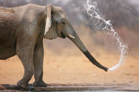 Little elephant spraying water; Loxodinta Africana; Etosha