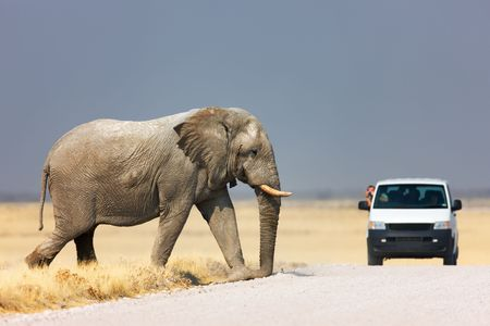 Tourist leaning out of vehicle to photograph an elephant walking over road; Etosha