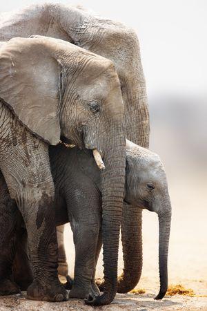 Baby elephant stand protected between cow and bull; Loxodonta Africana; Etosha