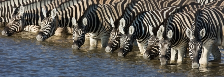 Panorama of zebra heads drinking water in Etosha; Equus burchells