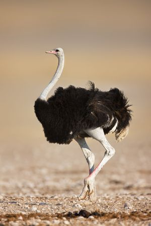 Wild male ostrich walking on rocky plains of etosha Banco de Imagens