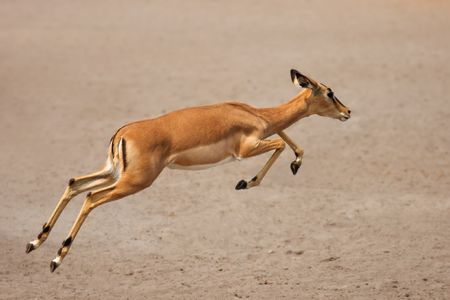 Black-faced impala (female) running over sandy plains of Etosha at waterhole; Aepyceros melampus petersi