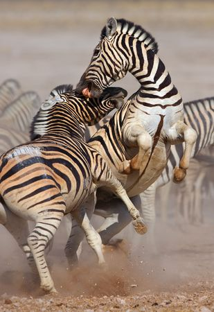 Close-up of two stallions fighting and biting ; Etosha; Equus burchells Stok Fotoğraf
