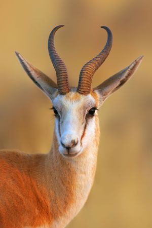 Close-up portrait of a Springbok in early morning light; Antidorcas Marsupialis