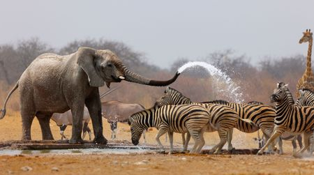 Elephant spraying zebras with water to keep them away from waterhole Stok Fotoğraf