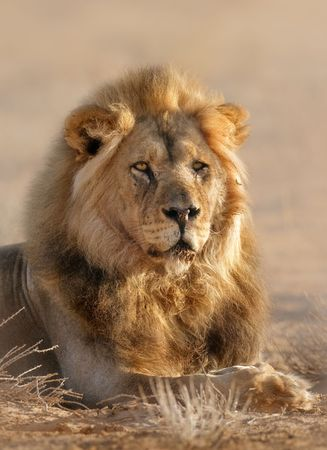 Close-up portrait of a male lion; panthera leo; Kalahari desert; South Africa