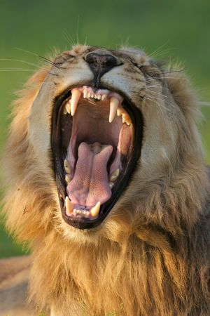 Dangerous teeth of a young male lion; panthera leo Stok Fotoğraf