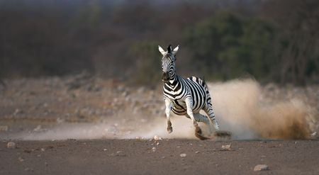 Frightened zebra running and leaving a dust trail ; Etosha