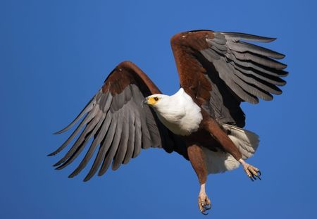 African Fish Eagle in full flight; Haliaeetus Vocifer