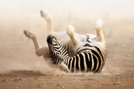 Zebra rolling on dusty white sand; Etosha
