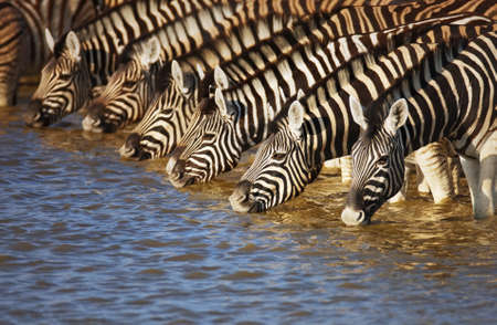 Herd of zebras drinking water in Etosha; Equus burchell's Reklamní fotografie
