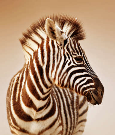 Close-up portrait of a  baby zebra;  Etosha; Equus burchell's Banco de Imagens
