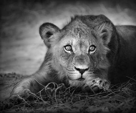 panthera: Ritratto di Close-up di un giovane Leone; Panthera leo  Archivio Fotografico