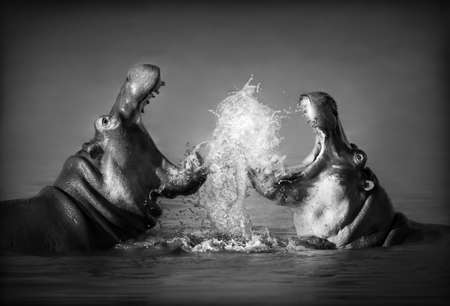 Close-up of a fierce fight between two Hippos