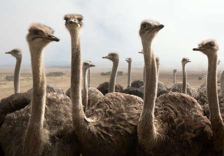 avestruz: Grupo de avestruces en una granja con nubes de niebla