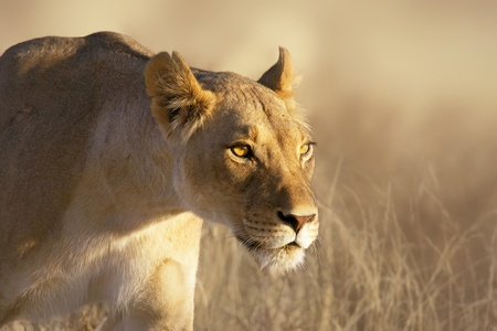 Portrait of a female lion in the grass of the Kgalagadi desert Stok Fotoğraf
