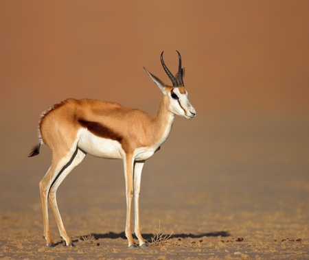 marsupialis: Springbok standing on sandy plains of kalahari desert