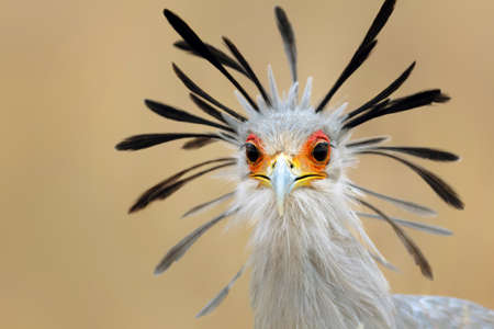 birds eye view: Close-up portrait of a secretary bird - Sagittarius serpentarius Stock Photo