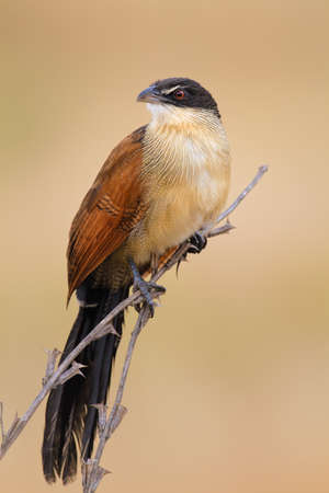 A burchell's coucal perched on thin branches - Centropus burchellii