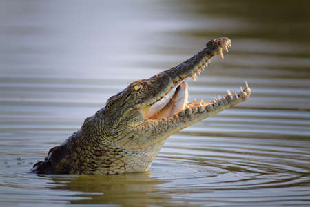 krokodil: Nilkrokodil Swollowing ein Fisch; Crocodylus Niloticus - Kr�ger Nationalpark