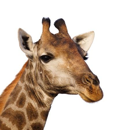 Portrait of a giraffe head isolated on white ; Giraffa Camelopardalis Stock Photo - 9802199