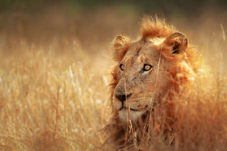 南アフリカのクルーガー国立公園 - 密な草原に横たわっている大きな雄ライオン