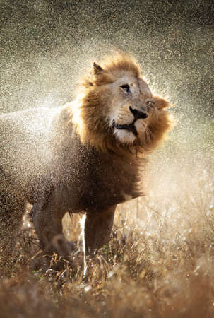 Male lion shaking off the water after a rainstorm - Kruger National Park - South Africa photo