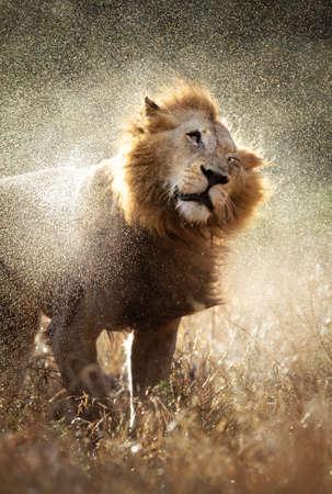 kruger: Male lion shaking off the water after a rainstorm - Kruger National Park - South Africa