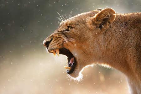 Leeuwin weergegeven gevaarlijke tanden tijdens lichte regenbui - Kruger Nationaal Park - Zuid Afrika Stockfoto