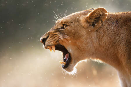 female lion: Lioness displays dangerous teeth during light rainstorm  - Kruger National Park - South Africa Stock Photo