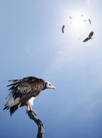 Conceptual - Vultures waiting to prey on innocent victims (digital composite) Banco de Imagens
