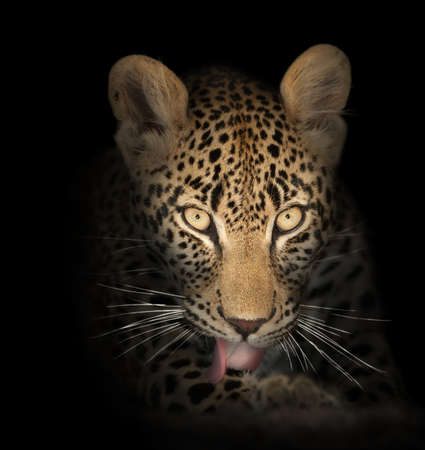 leopard: Leopard face close-up in the dark - Panthera pardus Stock Photo