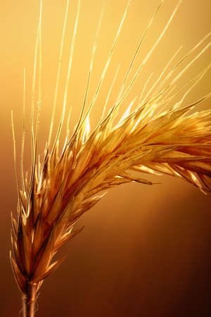 Macro of wheat against strong and warm backlight photo