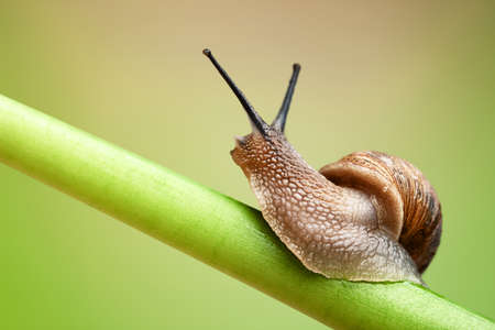 Common garden snail crawling on green stem of plant