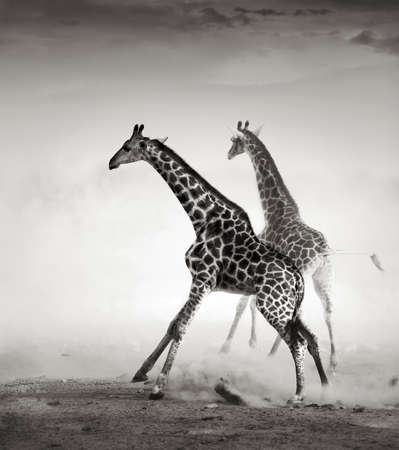 Giraffes on the run  Artistic processing  Stok Fotoğraf