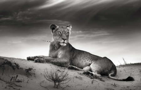 Lioness on desert dune  Artistic processing  photo