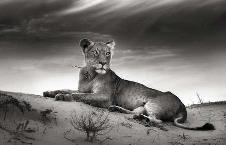 Lioness on desert dune  Artistic processing Banco de Imagens - 13056431