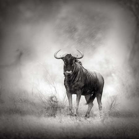 Blue Wildebeest in Rainstorm  Artistic processing  Reklamní fotografie