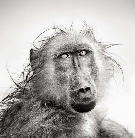 Baboon in rain  Artistic processing