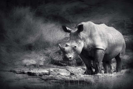 White Rhinoceros  Artistic processing  photo