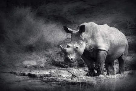 White Rhinoceros  Artistic processing  Stock Photo