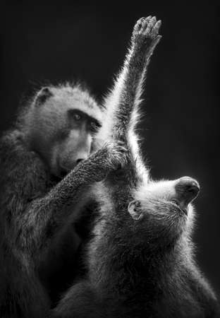 Baboons grooming  Artistic processing Stock Photo - 13056412