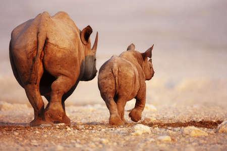 Zwarte neushoorn koe en kalf weg te lopen in Etosha woestijn Stockfoto