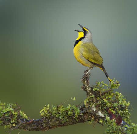 south african birds: Bokmakierie bird calling - Telophorus zeylonus - South Africa