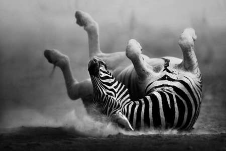 Zebra rolling in the dust  Artistic processing